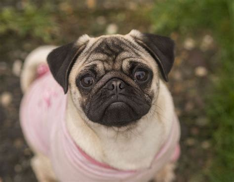 7 month pug fawn pug 7 month lincoln lincolnshire pets4homes
