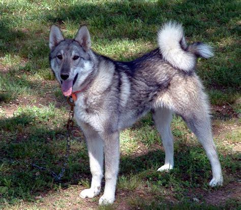 west siberian laika breeders puppies  breed information dogs australia