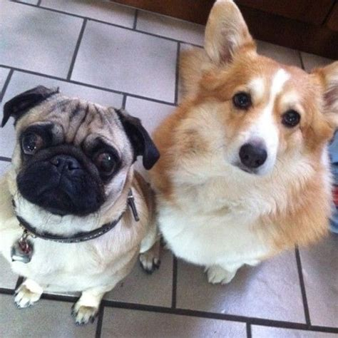 pug corgi mix 25 best ideas about pug corgi mix on pug