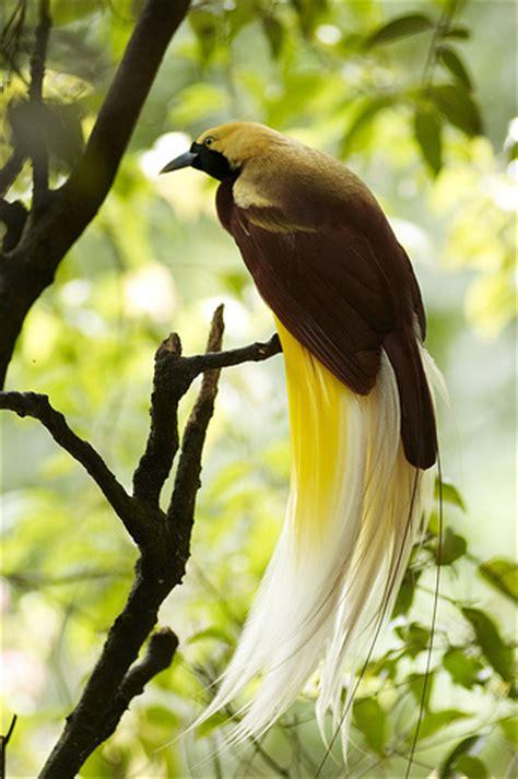 gambar wallpaper burung cendrawasih eksotis dan mengagumkan gambarbinatang