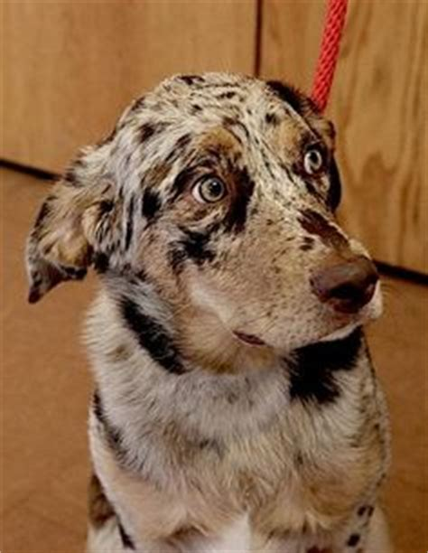 catahoula golden retriever mix golden retriever catahoula mix breeds picture