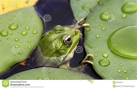 frog on lily pad royalty free stock photography image