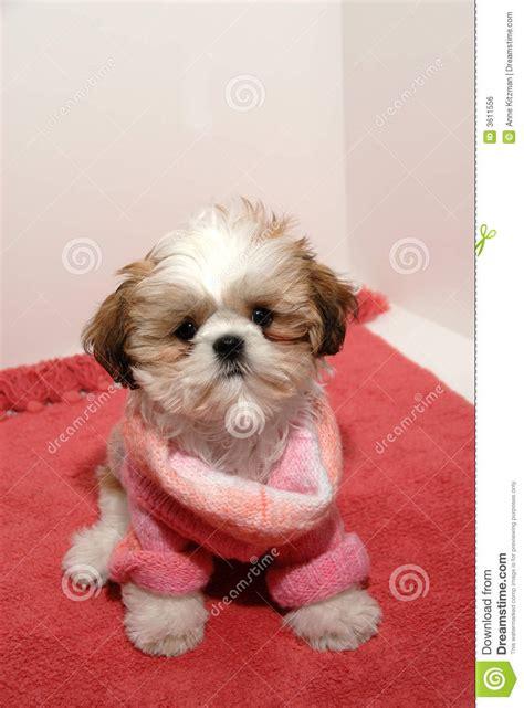 shih tzu clothing shih tzu fashion stock photo image of baby chic small 3611556