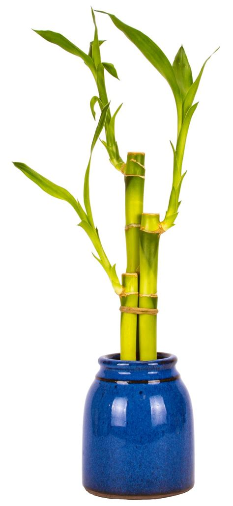 Lucky Bamboo Vase by 17 Best Images About Lucky Bamboo On Ceramic