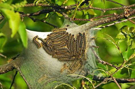 cherry tree worms how to tent caterpillars