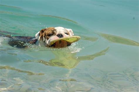zwemvest bulldog honden foto engelse bulldog