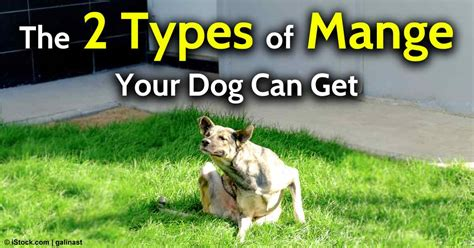 types of mange in dogs mange in dogs early signs