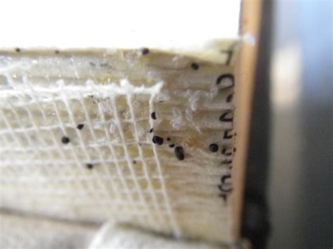 bed bug excrement what do bed bug droppings look like bed bug eggs and in book binding bed bugs