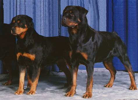 rottweiler rescue edmonton canadian national specialty 1990 edmonton alberta rottweiler club of