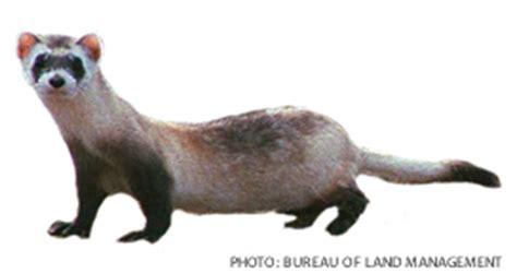 Ferret Background Check Conservation Biology Simbio