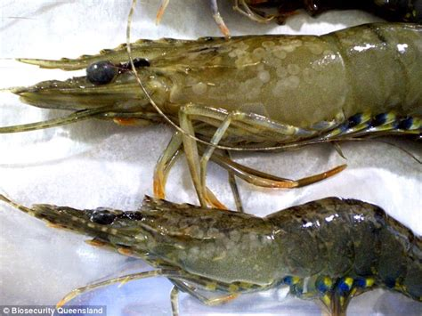 Blitz Icht White Spot Dieseases australian s prawn industry to be wiped out daily mail