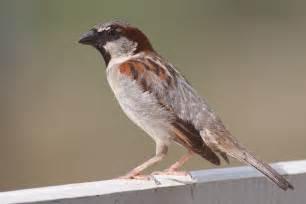 file house sparrow mar08 jpg wikimedia commons