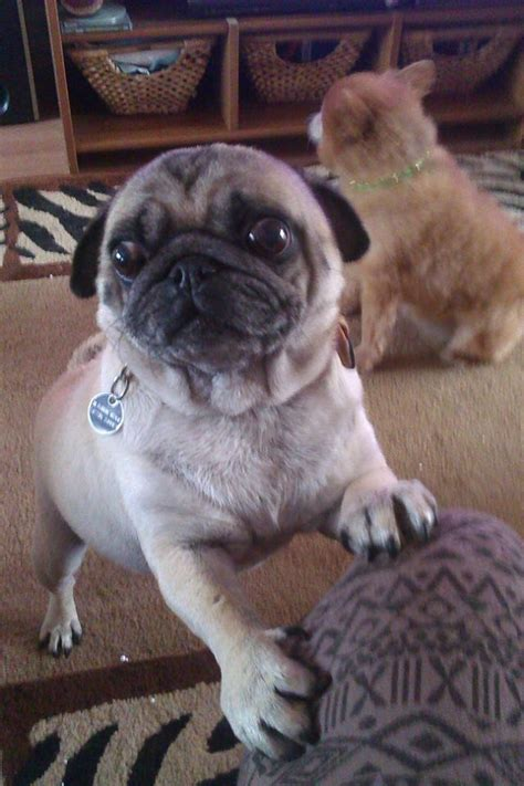 pug begging begging pug by ally sun on deviantart