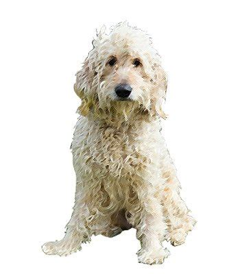 goldendoodle lifespan goldendoodle breed information
