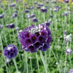 Salvana Blue antennaria dioica quot rubra quot 10cm flowering from april to may evergreen foliage in sun sun