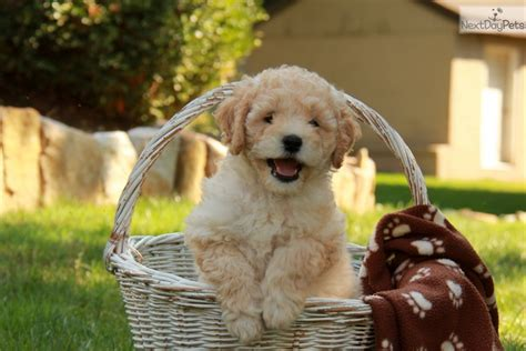 labradoodle puppies for sale near me labradoodle puppy for sale near lancaster pennsylvania 7fef3728 daf1