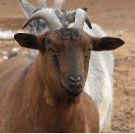 Kambing Etawa Untuk Ibu manfaat kambing etawa