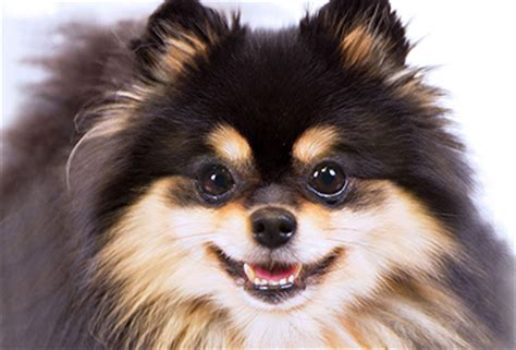 pomeranian on period smallest dogs american kennel club
