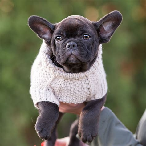 Teacup French Bulldog Black