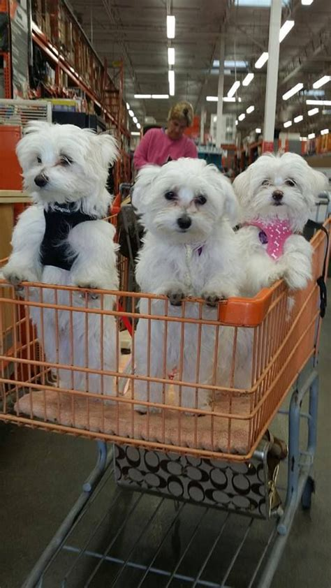 how much are maltese puppies 25 best ideas about maltese puppies on maltese baby maltese and teacup