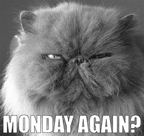 Monday Cat Meme - fluffy white cat memes funny cats image 3422662 by