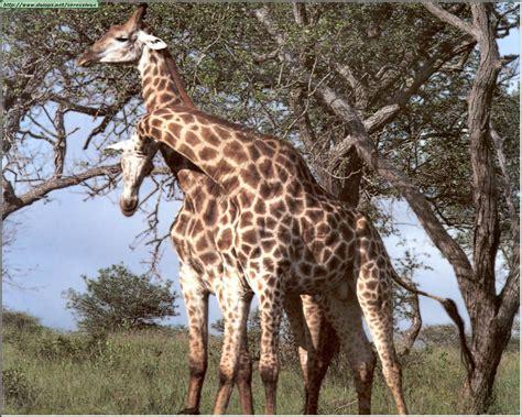 imagenes de jirafas apareandose recopilaci 242 n de imagenes taringa