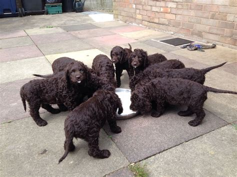 water spaniel puppies for sale iws puppies for sale lancashire pets4homes