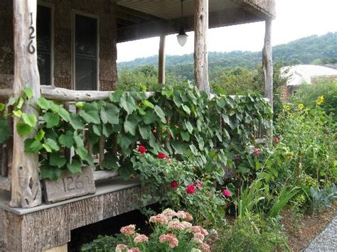 gardening on the porch pruning growing grapes is easy