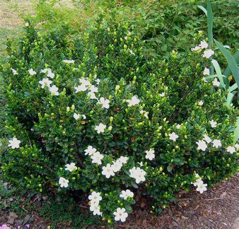 Gardenia In Everblooming Gardenia Jasminoides Veitchii