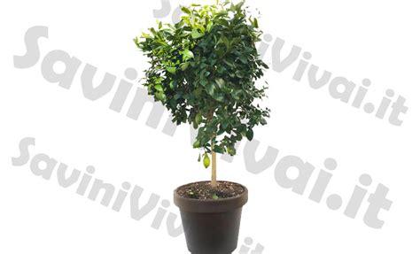 limone 4 stagioni in vaso pianta di limone 4 stagioni esemplare alto 170 200 cm in