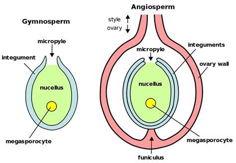 ovule diagram ovule definition what is