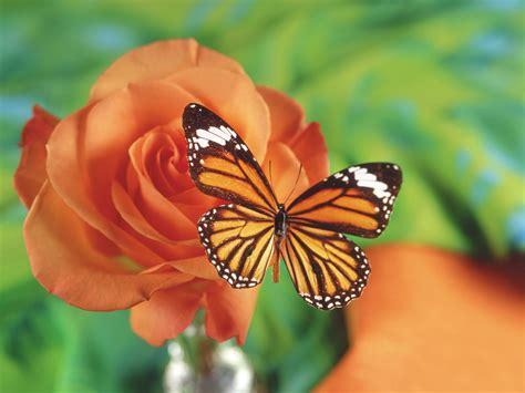 imagenes de rosas y mariposas bellas im 225 genes de mariposas hermosas