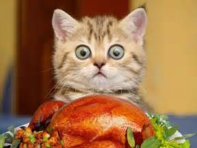 happy thanksgiving cats gallery for gt thanksgiving cat