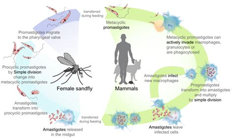 life processes simple english wikipedia the free file leishmaniasis life cycle diagram en svg simple