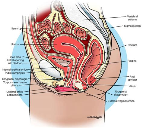 cross section of vagina our body