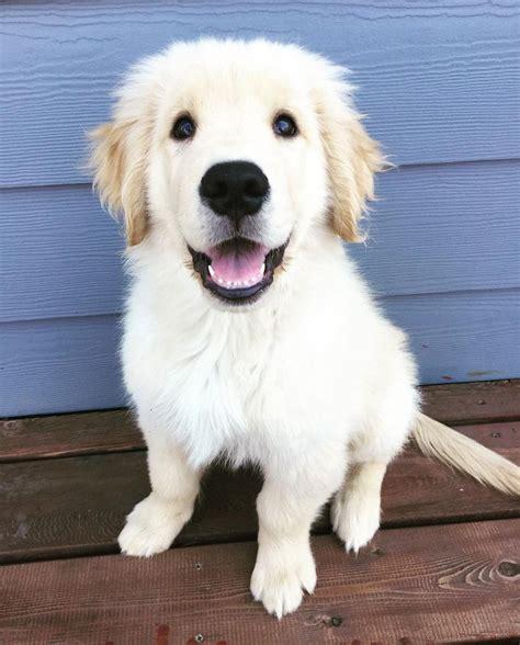 golden retriever or goldendoodle best 25 golden doodle puppies ideas on