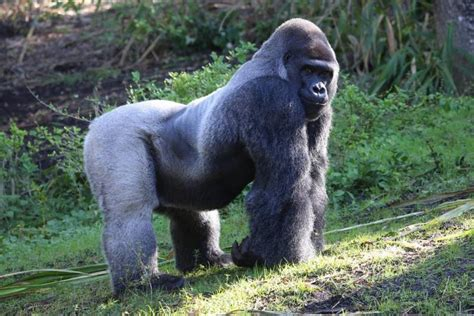 amazon rainforest animals gorilla 20 kinds of tropical rainforest animals with pictures