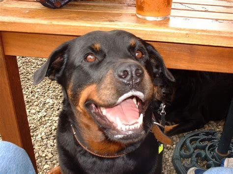 scary rottweiler 30 reasons why rottweilers are the most dangerous pets 30 is so scary