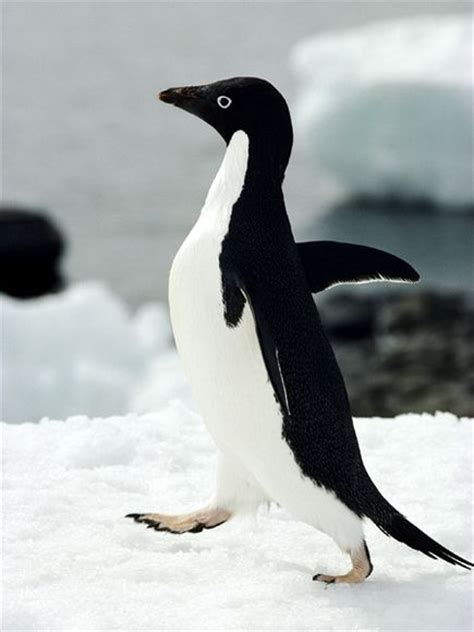 Adelie Penguin - Facts, Habitat, Diet and Pictures