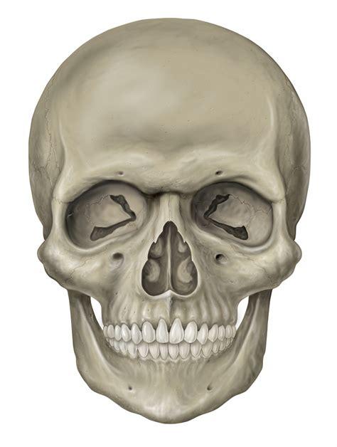 Skull On File Head Skull Anterior View Jpg Wikimedia Commons