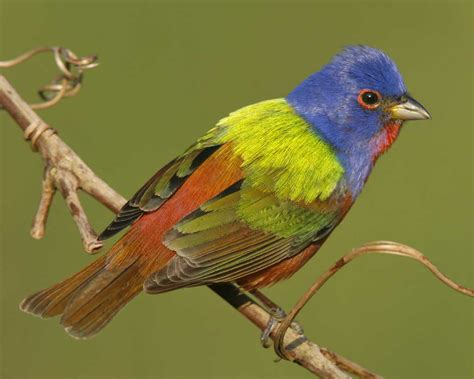 painted bunting audubon field guide