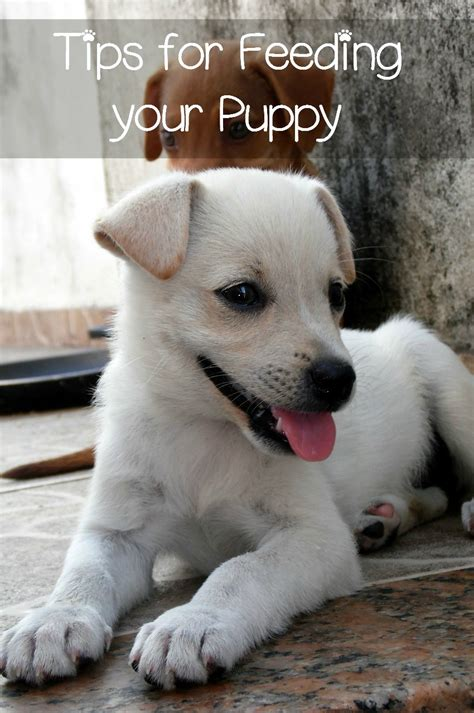 how much to feed 8 week puppy feeding puppies is easy vills