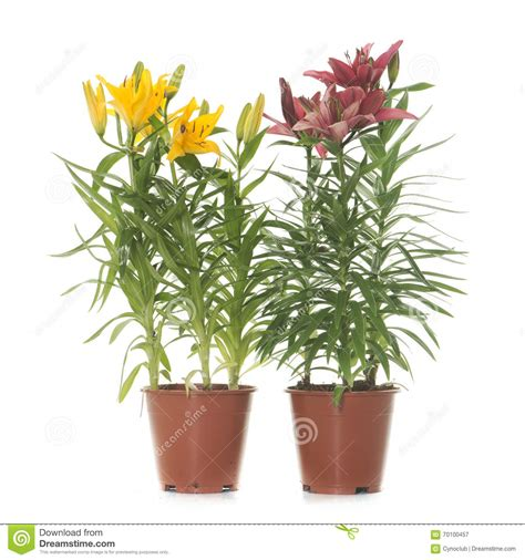 lilium in vaso lilium in vaso fotografia stock immagine 70100457