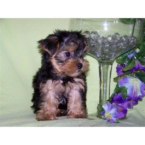 yorkies for sale in huntsville al sweet tiny teacup yorkie puppies for adoption for sale adoption from