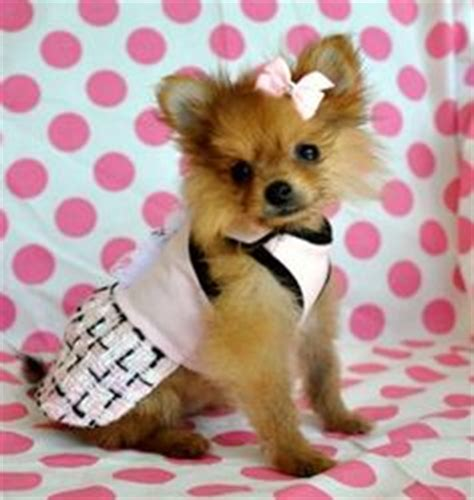 pomeranian wearing clothes 1000 images about pomeranian on pomeranians baby pomeranian and