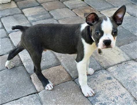 boston terrier puppies for sale in ms breeders in mississippi puppies for sale in mississippi