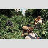 Mountain Gorilla Habitat   1190 x 751 jpeg 498kB