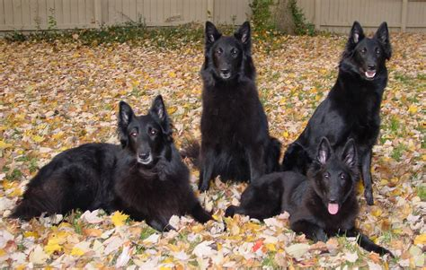 belgian shepherd puppies four beautiful belgian shepherd dogs groenendael photo and wallpaper beautiful four