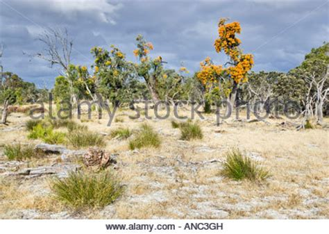 australian christmas trees nuytsia floribunda growing in