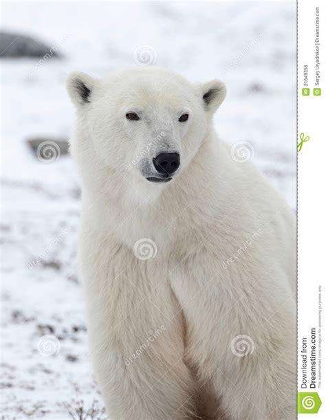 portrait of a polar royalty free stock photos image 21649358